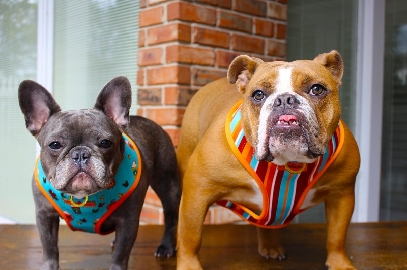 The breed profile of a French bull dog if you are considering a Frenchie