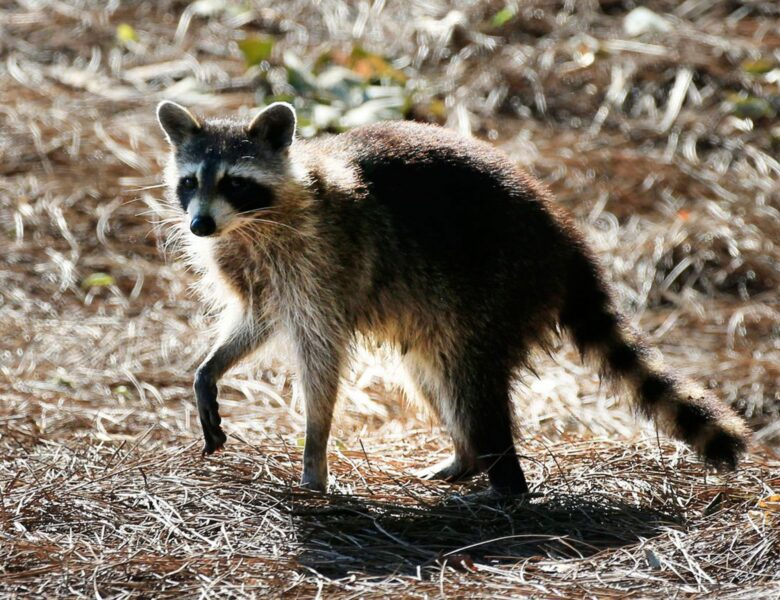 The Chances of Encountering a Rabid Racoon May Be Higher Than You Expect