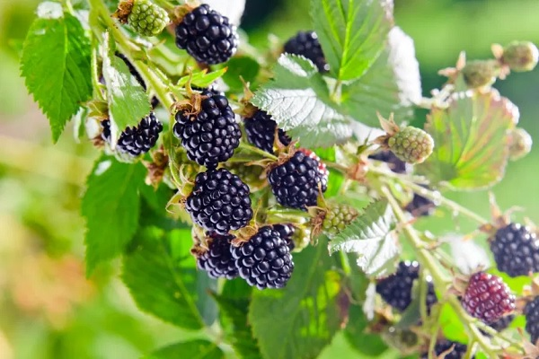 All What You Should Know About Blackberry Plants